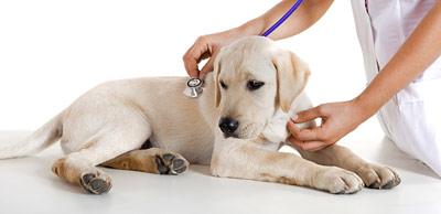 Analgésicos para perros: ¿Cuál es la mejor vía para administrarlos?