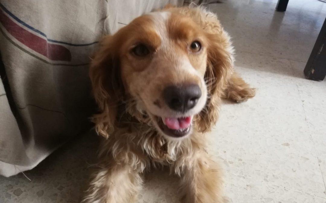 ¿Cómo tratar a un perro celíaco?