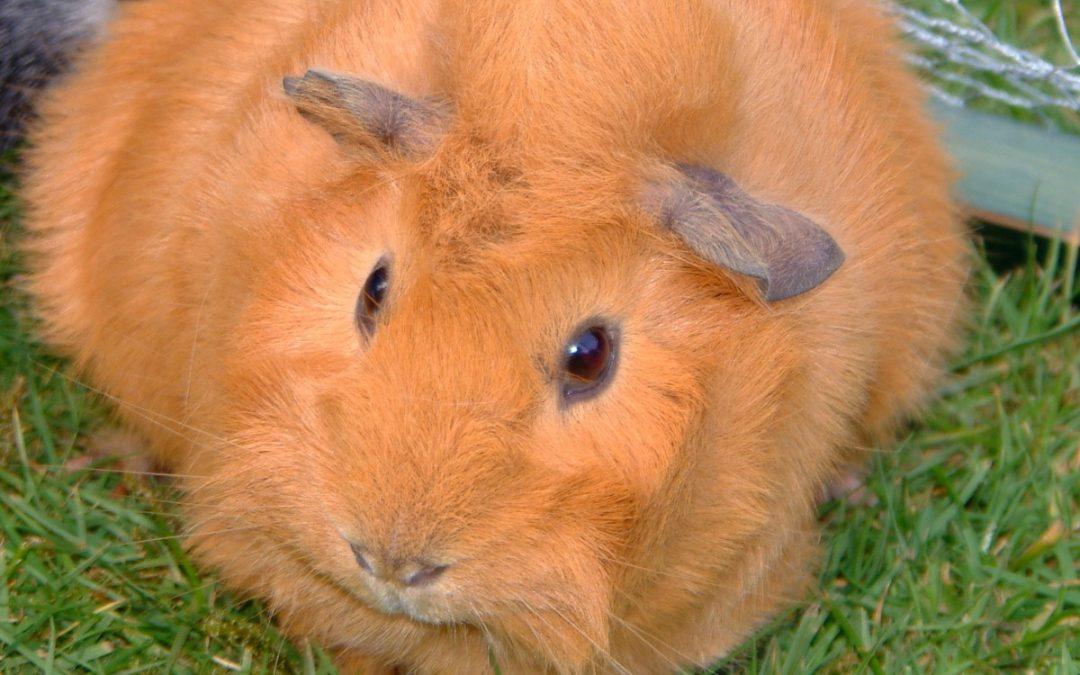Dieta: ¿Qué comen los conejos de Indias?