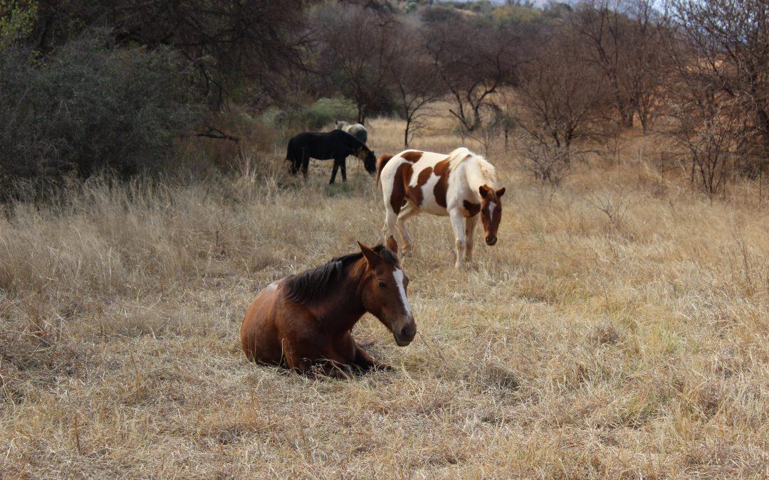 ¿Cómo duermen los caballos?